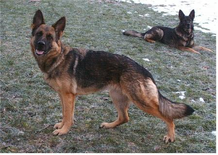 Alpha von der Liebenburg - GerdesHaus German Shepherds - Breeder & Trainer