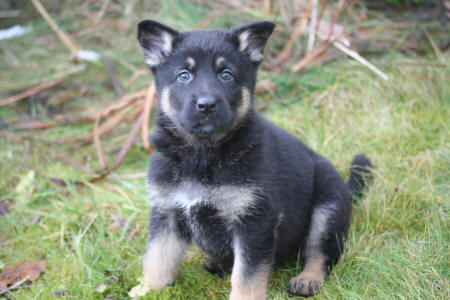 Tessa vom Smaragdwald - GSD Female - German Shepherd Breeder in Texas